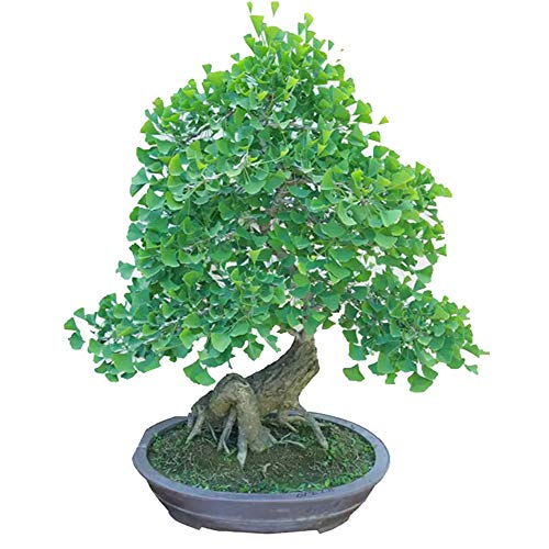 Ginkgo Biloba Seeds 6pcs (Maidenhair Tree) Seeds Easy to Grow for Garden Bonsai Outdoor Indoor Planting