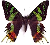 FRAMED BEAUTIFUL REAL MADAGASCAR BUTTERFLY DISPLAY