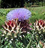 Cardoon Seeds, (RARE) Avorio Large Smooth - An attractive plant in the garden!(50 - Seeds)