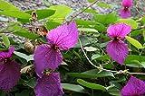 3 Bare Root of Dalechampia Dioscoreifolia - Purple Wings