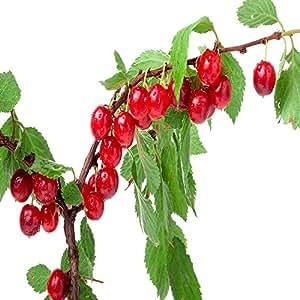 NANKING CHERRY 3 TREES, 4 FT FLOWERING FRUIT TREES, Prunus tomentosa