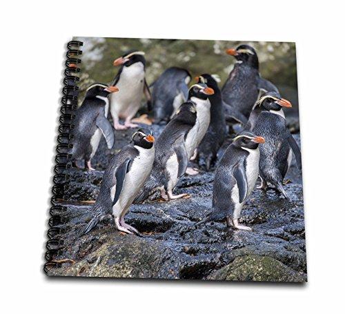 3dRose Danita Delimont - Penguins - New Zealand, Snares Islands, The Snares. Snares crested penguin. - Memory Book 12 x 12 inch (db_277141_2)