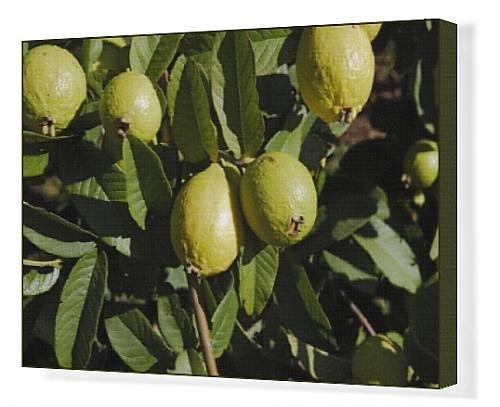 Canvas Artwork of WAT-13038 Guava - fruit