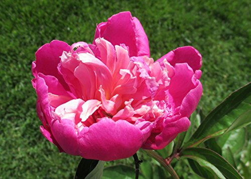 Peony is a flowering plant