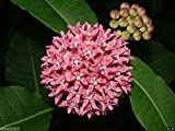 Asclepias syriaca (Common Milkweed) hardy through growing zone 3, organic .(100 Grams Seeds)