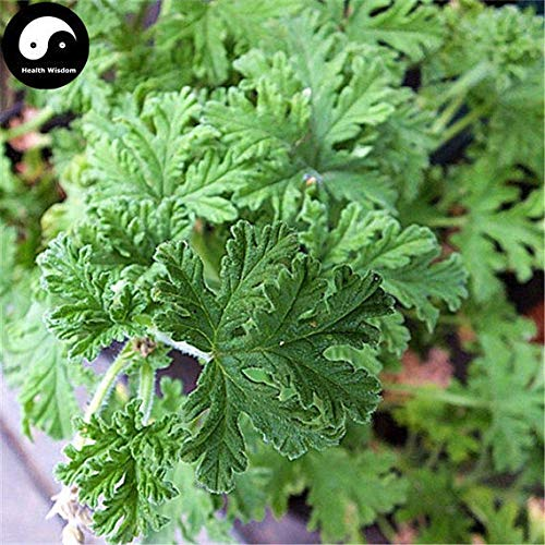 100pcs: Buy Pelargonium graveolens Seeds Plant herb Insect Repellent Grass