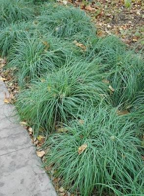 Classy Groundcovers - Carex flacca (Carex glauca) (Blue Sedge, Blue Rush, Gray Carex, Heath Sedge, Glaucous Sedge, Carnation Grass) {24 Pots - 3 1/2 in.}