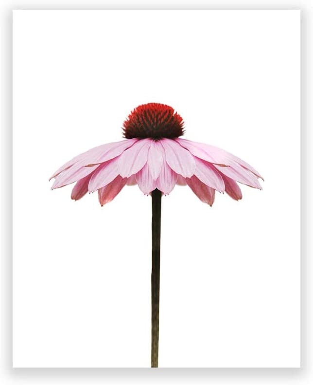 Humble Chic Modern Botanical Prints - Unframed HD Wall Art Printed Picture Poster Decorations for Home Decor Living Bed Kitchen Bathroom Office Dorm Room - Pink Gerber Daisy Flower, 8x10 Vertical