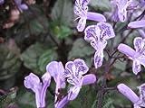 MONA LAVENDER Perennial Live Plant Plectranthus Long Lasting Purple Spire Spike Flower Shade Garden Starter Size 4 Inch Pot Emeralds TM