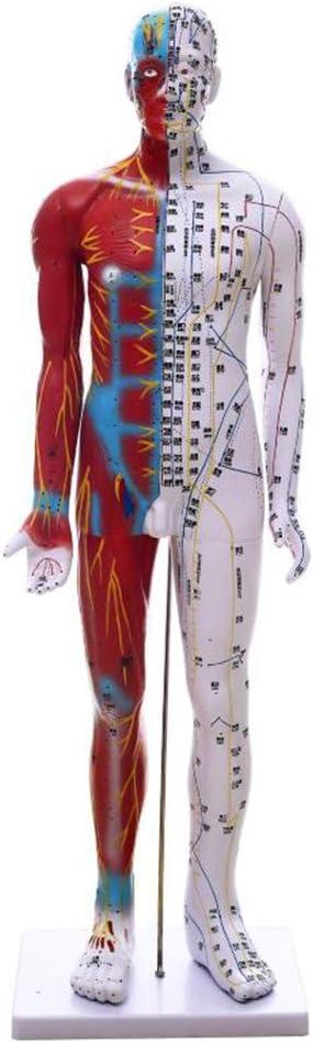 LUCKFY Diagrama HD TCM Modelo Punto de acupuntura del Cuerpo Humano meridiano del Punto de acupuntura Humana Modelo para el Masaje de acupuntura Herramienta de enseñanza, los 85CM: Amazon.es: Deportes y aire