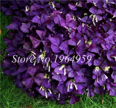 Bonsai Four Leaf Clover Seeds Trifolium Dutch Clover Garden Bonsai Plants 100Pcs