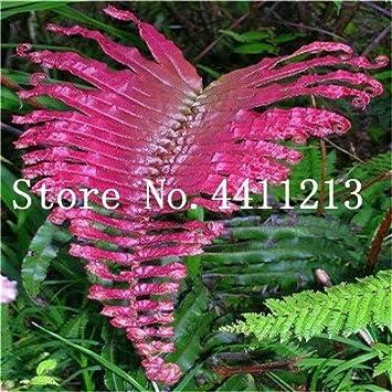 Bloom Green Co. Bonsai 100 Unids Raras Bonsai Colores Mezclados Helecho Plantas de Hierbas Perennes Bonsai Maceta Planta de Interior Para Huerto Fácil Crecer: 17