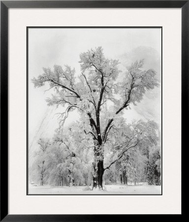 Oak Tree, Snowstorm, Yosemite National Park, 1948 Framed Art Poster Print by Ansel Adams, 30x35 (National Yosemite Park Snowstorm Tree)