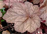 Beaujolais Coral Bells - Heuchera - Vigorous - Huge Leaves - Quart Pot