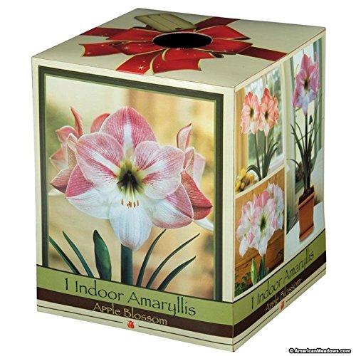 Amaryllis Kit: Apple Blossom + Plastic Pot & Soil - 26/28 cm Bulb Amaryllis Apple Pots
