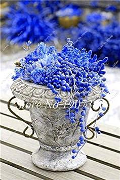 200 Pcs//Lot Blue Pearl Chlorophytum Office Desktop Flowers Succulents Anti-Radia