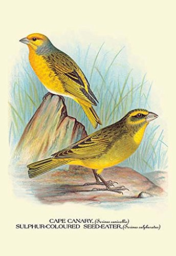(Buyenlarge 0-587-05219-8-C4466 Cape Canary Sulphur-Coloured Seed-Eater Gallery Wrapped Canvas Print, 44