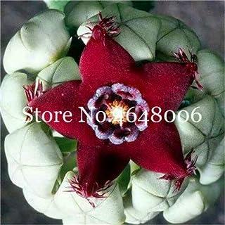 Pinkdose Mix Color Succulente Flores 200 Pz Cactus Plantas Garden Bonsai Fiore Raro Cactus Mini Ornamenti Succulenti Plante, Facile da Coltivare: a