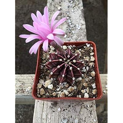 Cheap Beautiful Gymnocalycium Mihanovichii Fredrichii Cactus Succulent Live Plant Get 1#AEP01YN : Garden & Outdoor