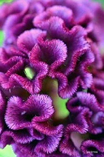 Purple Cockscomb / Celosia Flower Seeds