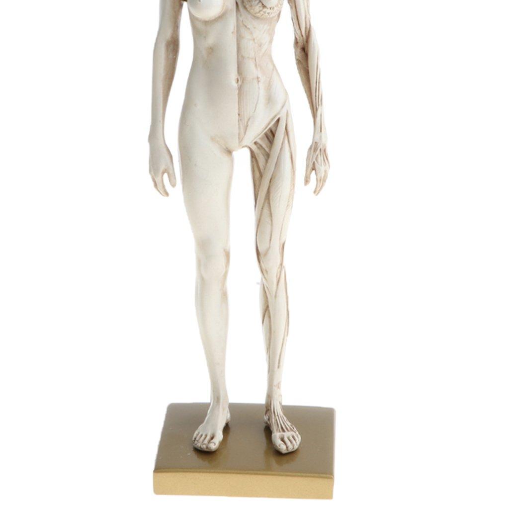D Dolity 11 Female Anatomy Figure Ecorche And Skin Anatomy Model Lab