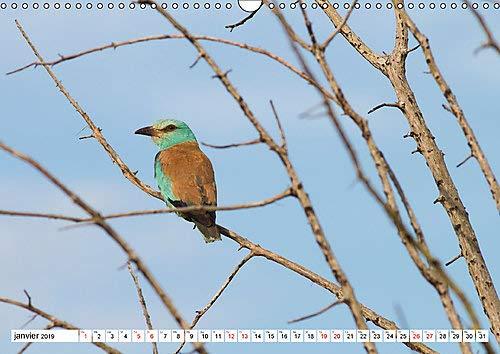 Rollier d'Europe (Coracias garrulus) 2019: Decouvrez le rollier d'Europe, un oiseau bleu mediterraneen magnifique. (Calvendo Places) (French Edition) by Calvendo Verlag GmbH