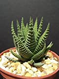 """Haworthia Fasciata attenuata rare succulent plant gasteria exotic cactus 4"""" pot"""