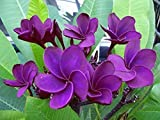 ''MAITHAI-02'' FRAGRANT PLUMERIA'S CUTTING WITH ROOTED 7-12 INCHES REGISTERED TRACK ONLINE 100%GUARANTEE SATISFICATION