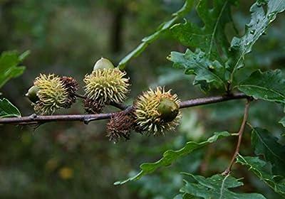 7 pcs/pkt European Turkey Oak Tree Seeds For Planting