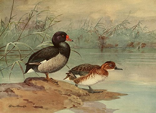 (Posterazzi NAT History 1925 Rosy-Billed Duck Poster Print by A. Brooks (24 x 36))