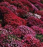50+ AUBRIETA BRIGHT RED ROCK CRESS FLOWER SEEDS / PERENNIAL / DEER RESISTANT