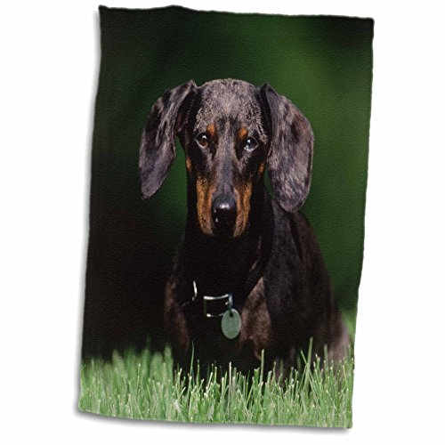 3d Rose View of Dapple Colored Dachshund twl_209139_1 Tow...
