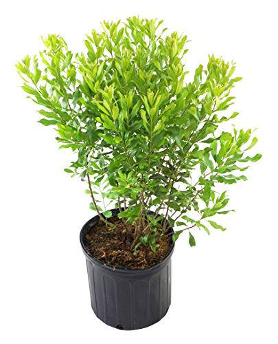 Myrica pensylvanica (Northern Bayberry) Shrub, 3 - Size Container