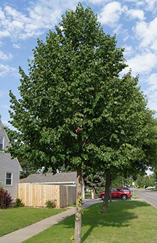 Brighter Blooms Fast Growing Hybrid Poplar Potted Shade Tree Live Plants Shade Plants Trees