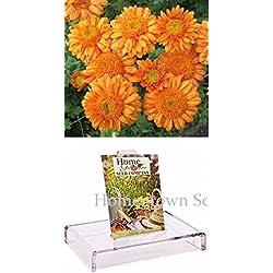 Homegrown Packet Chrysanthemum Seeds, 135 Seeds, Orange Chrysanthemum Mum