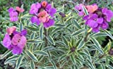 250 seeds of Erysimum Seeds Linifolium Flower Seeds (PERENNIAL) wall flower