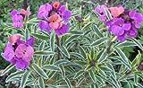 250 seeds of Erysimum Seeds Linifolium Flower Seeds (PERENNIAL) wall flower