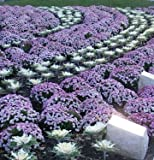 60 ORNAMENTAL KALE MIXED COLORS Brassica Oleracea Flower Seeds *Comb S/H