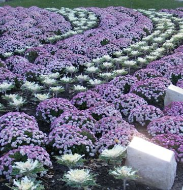 [60 ORNAMENTAL KALE MIXED COLORS Brassica Oleracea Flower Seeds *Comb S/H] (Ornamental Cabbage)