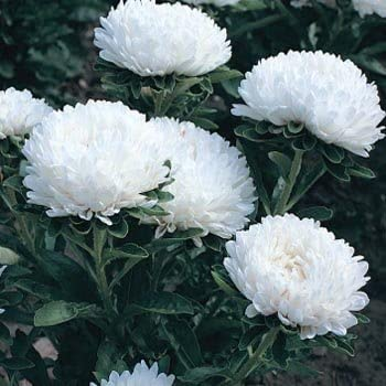 50 Seeds Milady-White Aster