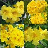 "2 Tecoma Stans Plants ~ Yellow Elder ~ Esperanza ~ Bells of Fire 10"""