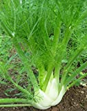 Florence Fennel 100 Seeds by Seeds and Things
