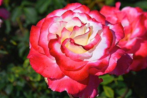 Double Delight Premium Rose - Live ()