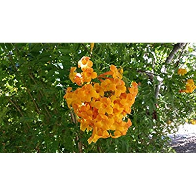 AchmadAnam - Live Plant - Tecoma 'Orange Jubilee' - 1 Plants - 2 to 3 Feet Tall - Ship in 1 Gal Pot. E9 : Garden & Outdoor