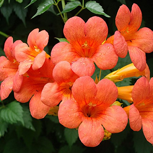 - 30 Seeds / Pack , Golden Trumpet Vine, Campsis Radicans Flava, Huge Blooms, Vigorous Vine, Easy To Grow!