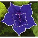 9GreenBoxs: Picotee Blue Morning Glory - 10 Seeds - Easy to Grow!