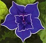 Picotee Blue Morning Glory - 10 Seeds - Easy to