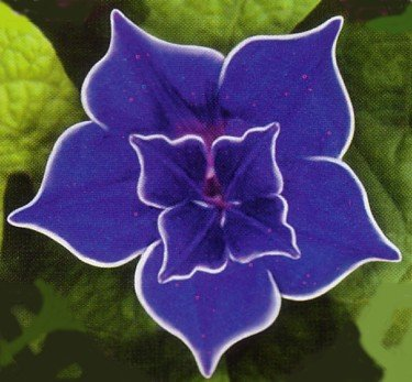 Picotee Blue Morning Glory 10 Seeds Easy To Grow