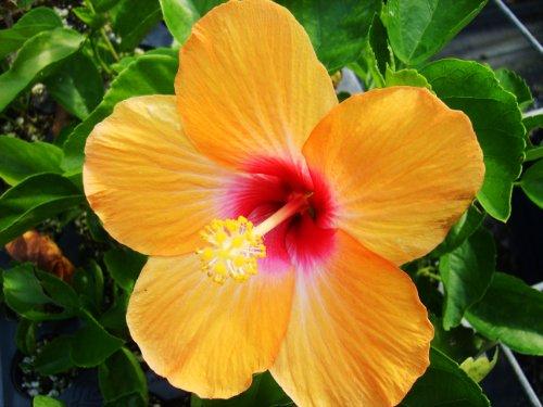 Amazoncom Cheri Tropical Hibiscus Live Plant Single Orange Rose