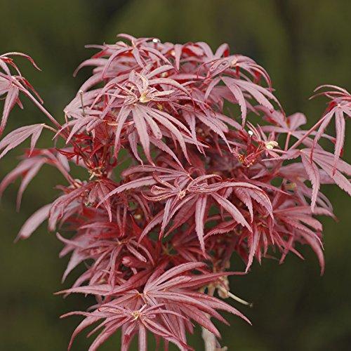 (Kurenai Jishi Dwarf Japanese Maple 1 - Year Live Plant)